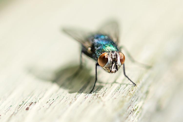 A blue bottle fly in the sun