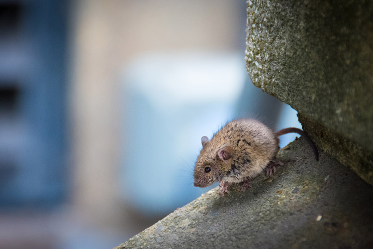 London Street mouse